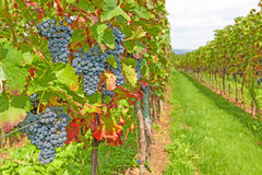 Red ripe grapes in vineyard Royalty Free Stock Images