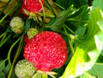 Red ripe and green strawberries ripen on a bush Stock Photography