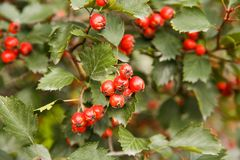 Hawthorn berries. Red ripe hawthorn berries close up picture Royalty Free Stock Photography
