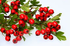 Red ripe Hawthorn berries Stock Photo
