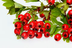 Red ripe Hawthorn berries. On white ground Stock Photography