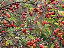 Red ripe hips berries in autumn, Lithuania Royalty Free Stock Photos