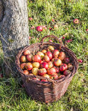 Red ripe organic apples Royalty Free Stock Images