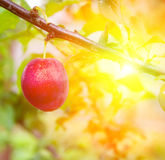 Red ripe plum on a branch in summer Royalty Free Stock Images