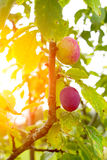 Red ripe plum on a branch in summer Royalty Free Stock Image