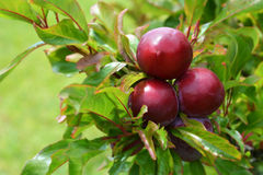 Red ripe plums Stock Photography