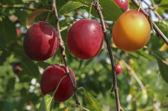 Red ripe plums Stock Image