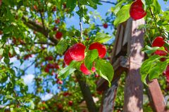 Red ripe plums on the tree Royalty Free Stock Image
