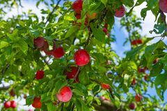 Red ripe plums on the tree Stock Photography