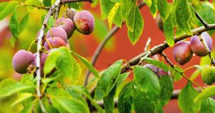 Red ripe plums on the tree Royalty Free Stock Photography