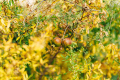Red ripe pomegranate on the tree. Pomegranate trees in Montenegr Royalty Free Stock Photos