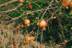Red ripe pomegranate on the tree. Pomegranate trees in Montenegr Royalty Free Stock Photo