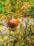 Red ripe pomegranate on the tree. Pomegranate trees in Montenegr Royalty Free Stock Image