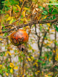 Red ripe pomegranate on the tree. Pomegranate trees in Montenegr Stock Image