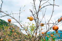 Red ripe pomegranate on the tree. Pomegranate trees in Montenegr Royalty Free Stock Photography