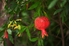 Red ripe pomegranates on the tree. Blurred garden Royalty Free Stock Photo