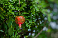 Red ripe pomegranates on the tree. Blurred garden Stock Images
