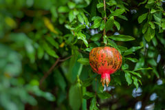 Red ripe pomegranates on the tree. Blurred garden Royalty Free Stock Image