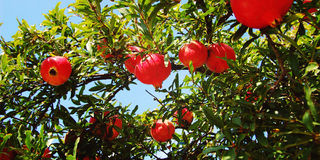 Red Ripe Pomegranates on the Tree. Harvest time. Aged photo. Blue sky through garnet bush branches. Bright fruit background. Rural Sicily, Italy Royalty Free Stock Images