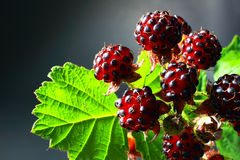 Red ripe raspberries Stock Images