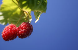 Red-ripe raspberry Stock Photography