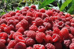 Red ripe raspberry Royalty Free Stock Photography