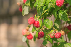 Red ripe raspberry Royalty Free Stock Images