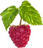 Red ripe raspberry and green leaves illustration Stock Photo