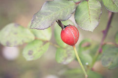 Red ripe rose hip in a Royalty Free Stock Photography