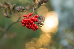 Red ripe Rowan berries against sun rays, Mountain ash tree with ripe berry.Branch of ash berry.Rowan branches covered. Rowan berries, Mountain ash tree with ripe royalty free stock photography