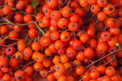 Red ripe rowan berries. Several bunches of red and ripe berries of mountain ash Royalty Free Stock Photos