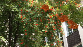 Red ripe rowan berries on a tree with green leaves. Branches of a mountain ash fluttering in the wind. Red ripe rowan berries on a tree with green leaves stock video footage