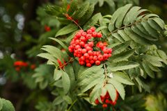 Rowan berries. Red ripe rowan berry tree branch close up picture Royalty Free Stock Photo