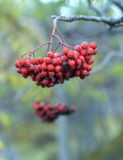 Red ripe rowan. On a branch stock images