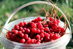 Red ripe schisandra in the bucket Stock Photos