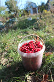 Red ripe schisandra in the bucket Stock Image