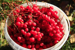 Red ripe schisandra in the bucket Stock Images