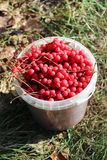 Red ripe schisandra in the bucket Royalty Free Stock Photography