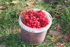 Red ripe schizandra in the bucket Royalty Free Stock Photography