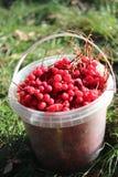 Red ripe schizandra in the bucket Stock Image
