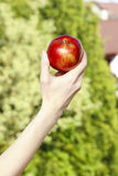 Red ripe single apple in beautiful hand royalty free stock photography