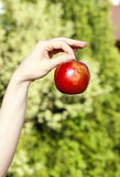 Red ripe single apple in beautiful hand Stock Images