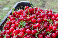 Red ripe sour cherry stock photography