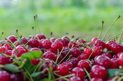 Red ripe sour cherry royalty free stock photos