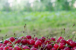 Red ripe sour cherry Stock Image