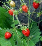 Red ripe strawberries in the garden, macro. Narrow focus area stock images