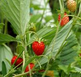 Red ripe strawberries in the garden, macro. Narrow focus area royalty free stock image