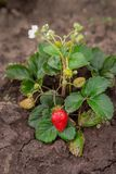 Red ripe strawberries on a thin stalk of a green bush on the ground. Growing organic fruit in the garden stock image