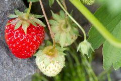 Red Ripe Strawberry Fruit Royalty Free Stock Photos