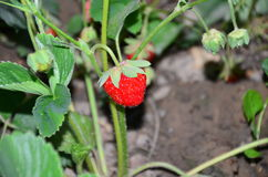 Red-ripe strawberry in garden. Red-ripe strawberry plant in garden with green leaves and berries in garden on ground Stock Photo